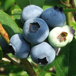 Vaccinium corymbosum Highbush Blueberry seed for sale