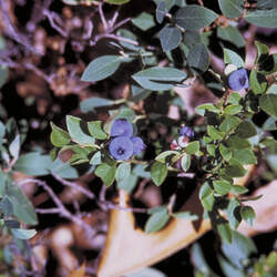 Vaccinium myrtilloides Velvetleaf Huckleberry, Canadian Blueberry, Velvetleaf Blueberry, Sourtop Blueberry, Common Blueberry seed for sale