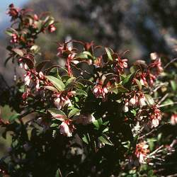 Vaccinium ovatum California Huckleberry, Evergreen Huckleberry seed for sale