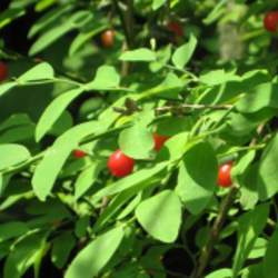 Vaccinium parvifolium Red Huckleberry seed for sale