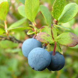 Vaccinium uliginosum Bog Bilberry, Bog Blueberry seed for sale