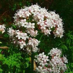 Valeriana officinalis Common Valerian, Garden Valerian seed for sale