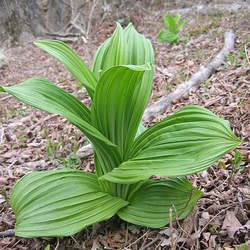 Veratrum album White Hellebore, White False Hellebore seed for sale