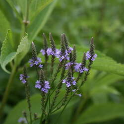 Verbena hastata Swamp Verbena, Blue Vervain, Swamp Vervain, American Vervain, False Vervain, Indian Hyssop, Vervain, Wild Hyssop seed for sale
