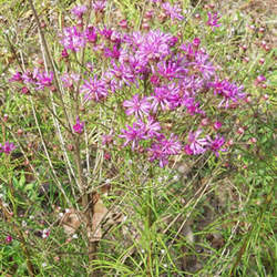 Vernonia angustifolia Ironweed, Tall Ironweed seed for sale