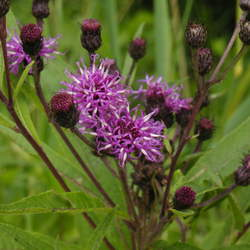 Vernonia noveboracensis Ironweed, New York Ironweed, N.Y. Ironweed seed for sale