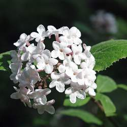 Viburnum carlesii Korean Spice Viburnum seed for sale