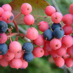 Viburnum cassinoides     clean seed Wild Raisin, Possumhaw, Withe Rod seed for sale