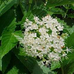 Viburnum dentatum Arrowwood, Southern Arrowwood seed for sale
