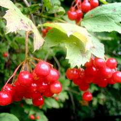 Viburnum opulus European Highbush Cranberry, European Cranberrybush seed for sale