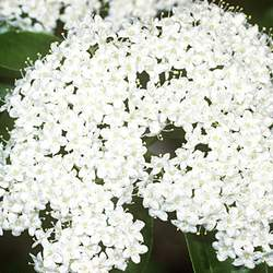 Viburnum prunifolium Blackhaw seed for sale