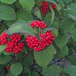 Viburnum wrightii Wright Viburnum seed for sale