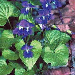 Viola sororia Butterfly Violet, Common Blue Violet seed for sale