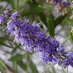 Vitex agnus-castus Lilac Chastetree, Monks Pepper Tree seed for sale