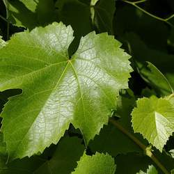 Vitis californica California Wild Grape seed for sale