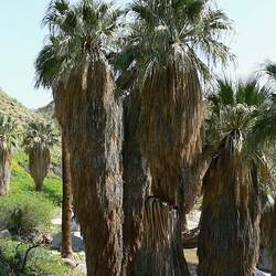 Washingtonia filifera California Fan Palm, Desert Fan Palm seed for sale