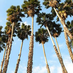 Washingtonia robusta Mexican Fan Palm, Washington Fan Palm seed for sale