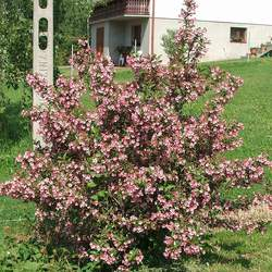 Weigela florida Old-fashioned Weigela seed for sale