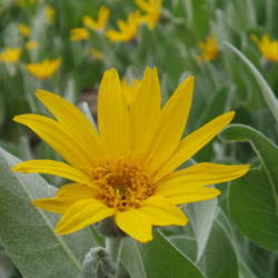 Wyethia mollis Woolly Mule-ears seed for sale
