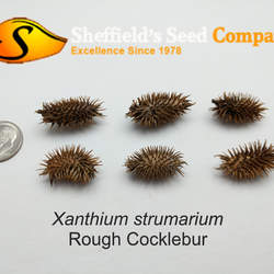 Xanthium strumarium Rough Cocklebur seed for sale