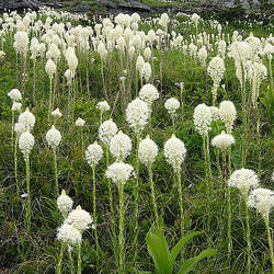 Xerophyllum tenax Bear Grass, Common Beargrass, Squaw Grass, Soap Grass, quip-quip, Indian Basket Grass, Bear Lily, Pine Lily, Western Turkeybeard, Elk Grass seed for sale