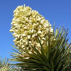 Yucca brevifolia Joshua Tree, Yucca Palm, Tree Yucca, Palm Tree Yucca seed for sale