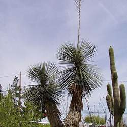Yucca elata Soap Tree, Soaptree Yucca, Soapweed , Palmella seed for sale