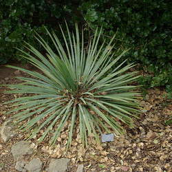Yucca glauca Soapweed , Soapwell, Soapweed Yucca seed for sale