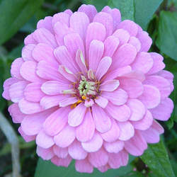 Zinnia elegans   California Giant Mix Elegant Zinnia, California Giant Zinnia seed for sale