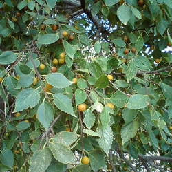 Celtis tournefortii Oriental Hackberry seed for sale