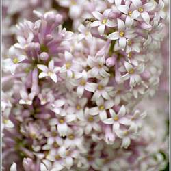 Syringa wolfii Wolf's Lilac seed for sale
