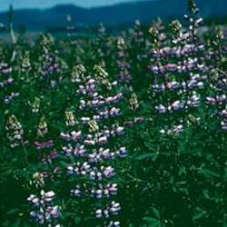 Lupinus albicaulis   Hederma Sickle Keeled Lupine, Sicklekeel Lupine seed for sale