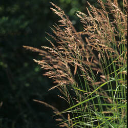 Calamagrostis canadensis Bluejoint, Canadian Reedgrass, Bluejoint Reedgrass, Marsh Pinegrass, Meadow Pinegrass, Marsh reedgrass seed for sale