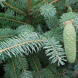 Picea likiangensis Lijang Spruce seed for sale
