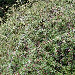 Cotoneaster adpressus  praecox Creeping  Cotoneaster, Early Creeping Cotoneaster, Praecos Cotoneaster seed for sale