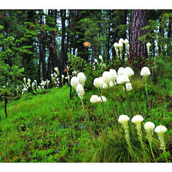 Xerophyllum tenax Bear Grass, Squaw Grass, Soap Grass, quip-quip, Indian Basket Grass, Bear Lily, Pine Lily, Western Turkeybeard, Elk Grass seed for sale