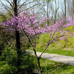 Cercis canadensis    Southern Eastern Redbud, Southern Eastern Redbud, Southern Redbud seed for sale