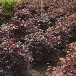 ACER palmatum matsumurae  Bloodgood  dry seed Bloodgood Japanese Maple seed for sale