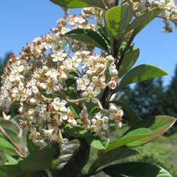 Cotoneaster coriaceus     clean seed Milkflower Cotoneaster, Parney Cotoneaster seed for sale