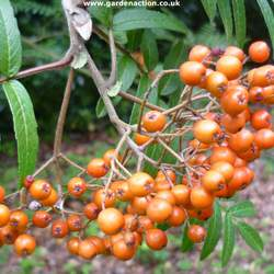 Sorbus pohuashanensis Amur Mountain Ash seed for sale