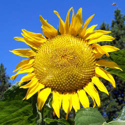 Helianthus annuus   Titan Titan Sunflower seed for sale