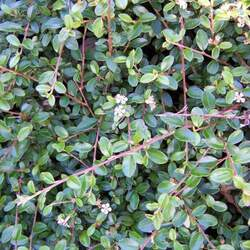 Cotoneaster horizontalis     dried berries Rock Cotoneaster, Rockspray Cotoneaster seed for sale