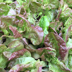Lactuca sativa   Marvel of 4 Seasons Garden Lettuce, Lettuce, Marvel of 4 Seasons Lettuce seed for sale