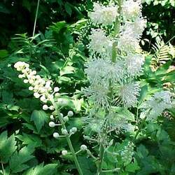 CIMICIFUGA racemosa Black Cohosh, Black Bugbane, Black Snakeroot, Fairy Candle seed for sale