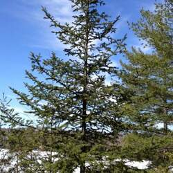 Abies balsamea    New York Balsam Fir seed for sale