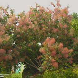 Cotinus coggygria European Smoketree, Common Smoketree, Smoke Bush seed for sale