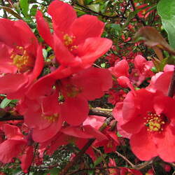Chaenomeles speciosa Chinese Flowering Quince, Flowering Quince seed for sale