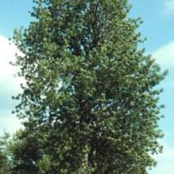 Fraxinus quadrangulata Blue Ash seed for sale