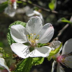 Prunus tomentosa Nanking Cherry seed for sale
