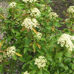 Viburnum cassinoides     dried berries Wild Raisin, Withe Rod, Possumhaw seed for sale